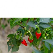 hot pepper_1102