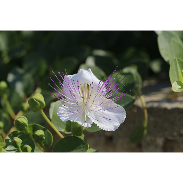 Κάππαρη (Capparis Spinosa)